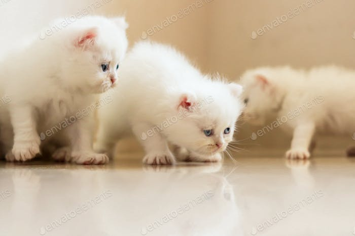 Cute white furry pets