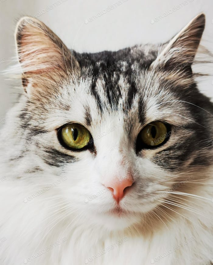 Pet portrait of a gorgeous fluffy cat looking directly at camera.