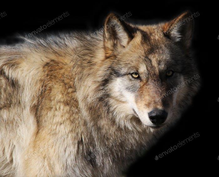 Alaskan Gray Wolf