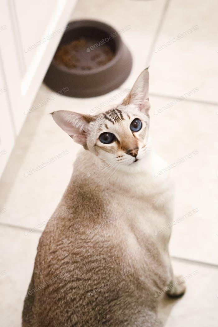 Niedliche entzückende Haustier orientalische Katze mit blauen Augen Blick auf die Kamera. Entzückende häusliche