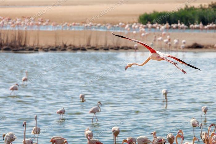 Flamingo at flight