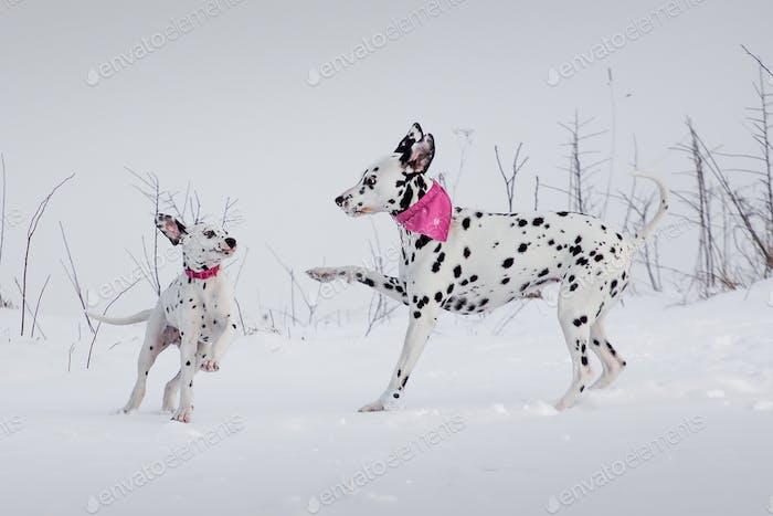 Best friends Aida & Ema #dalmatian #dog #liptov #slovakia