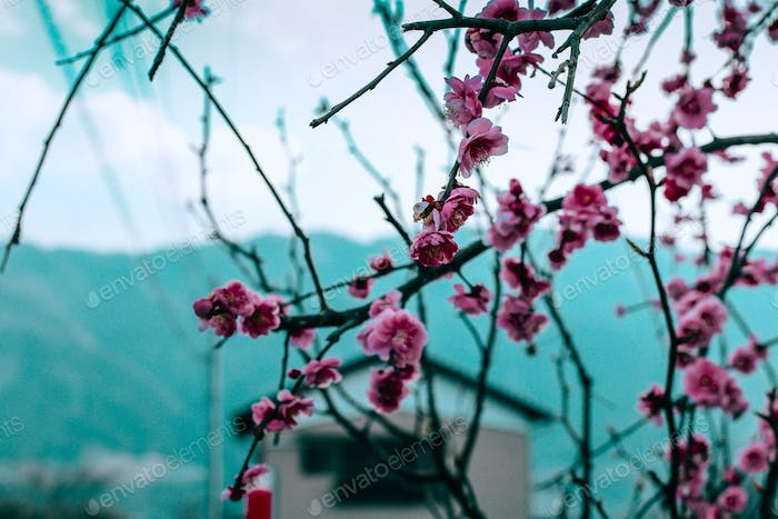 Blossoms blooming