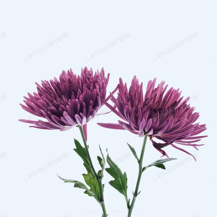 Violette Chrysanthemen