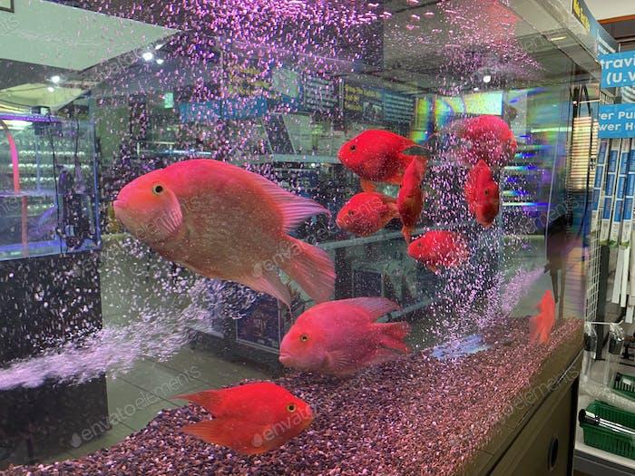 Blood red parrot cichlids