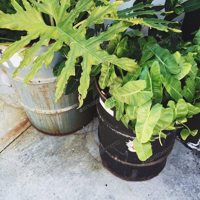 Oil drum planters.