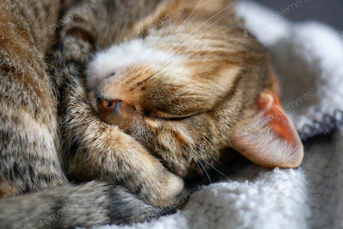 Völlig entspannter Katzenschlaf auf weicher Decke. Plaid, Position, Süß, Whisker, Traum, l