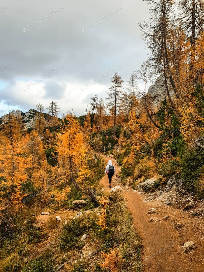 Hiker on a trail in yellow colored woods. Autumn colors, fall colors, larch trees, pine trees, hikin