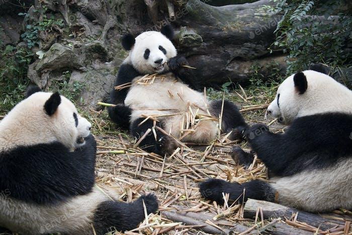 Giant Panda (Ailuropoda melanoleuca) - Wolong Nature Reserve - Chengdu - China.