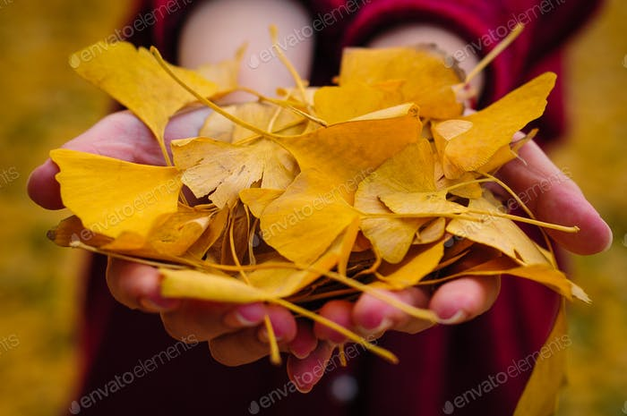 gingko leafs