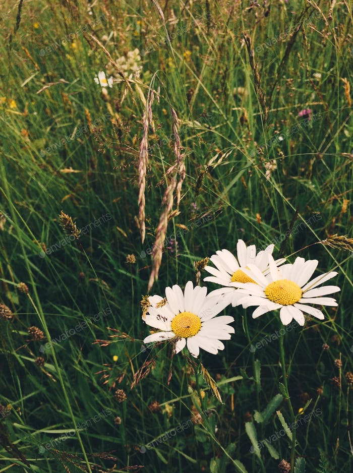 Chamomile grow in the field.  Wildflowers.  Summer style.  NOMINATED 🌿