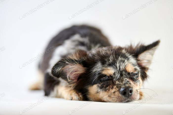 Chihuahua puppy is sleeping. Little cute toy dog. Short haired chihuahua breed.