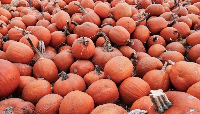 Pumpkins, pumpkins, everywhere pumpkins.