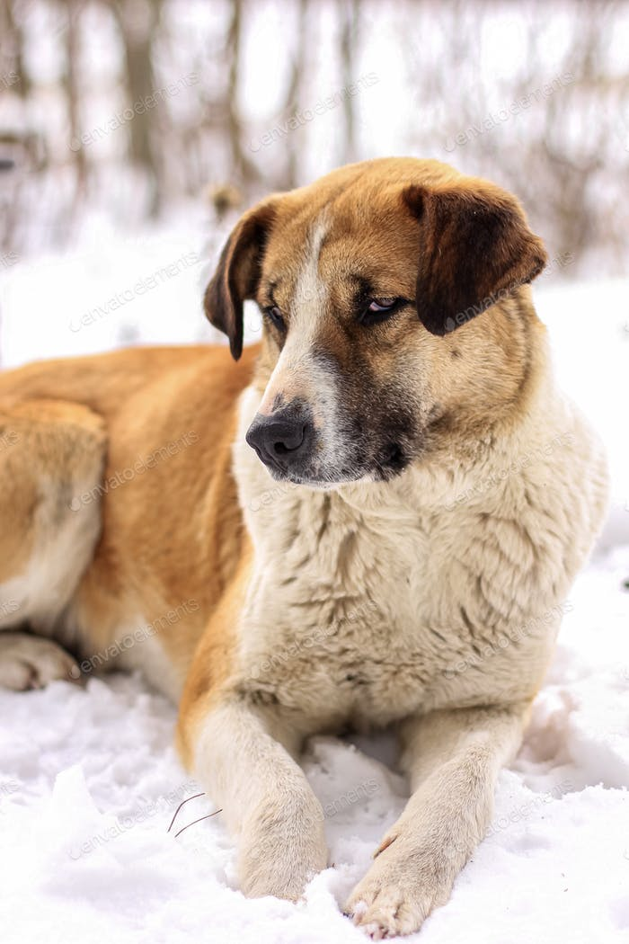 Portrait of red with white mongrel dog in a winter forest against blurred background.