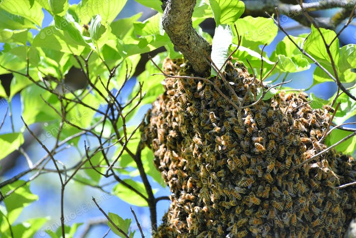 A swarm of honeybees in a tree making a hive.