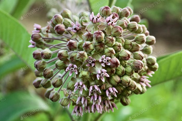 Closeup of Common Milkweed buds and blossoms against a blurred leafy background