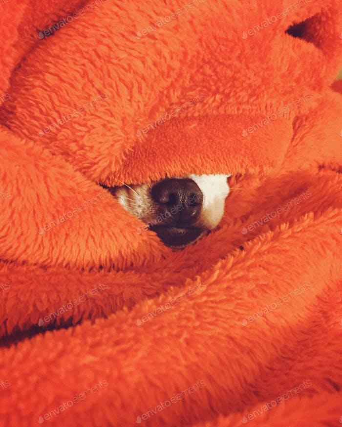 Chihuahua Nose