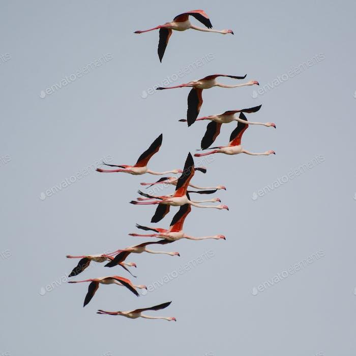 Flamingo's flying over Sardinia