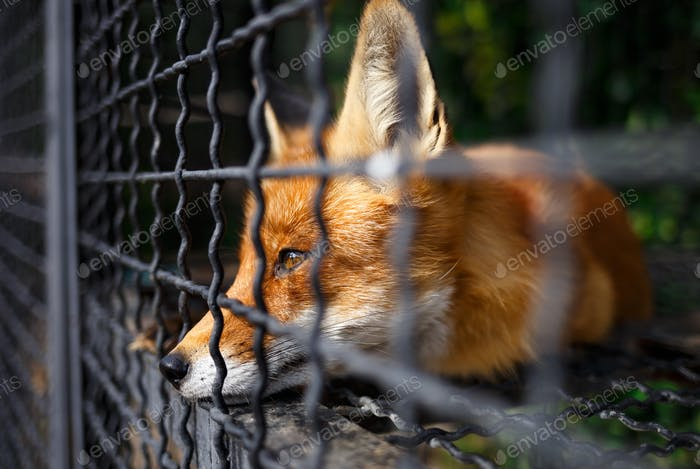 muzzle of a fox lying in a cage in a zoo.  wild animals in captivity.  animal abuse.