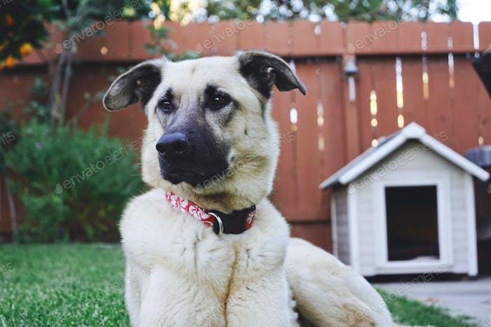 Schönes Tier in ihrem Hinterhof bei ihrem Hundehaus.  ❤️