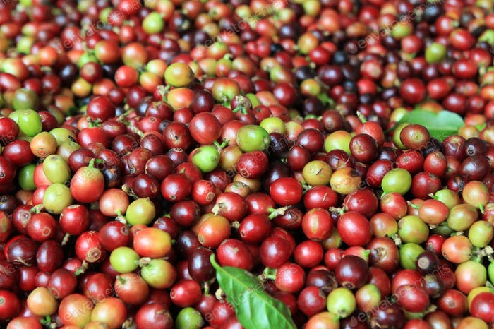 Travel to Doi Suthep, Chiangmai, Thailand. The red and green coffee berries closeup for background.