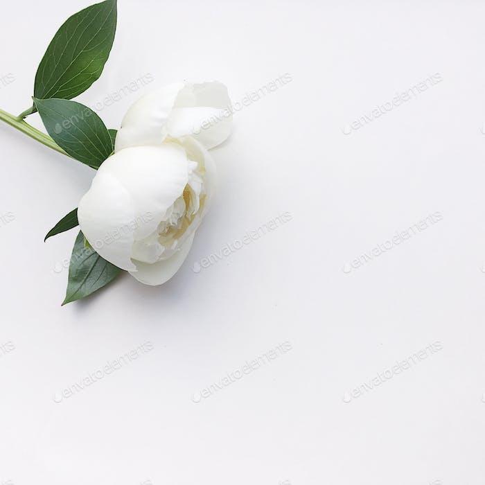 Peonía blanca sobre fondo blanco