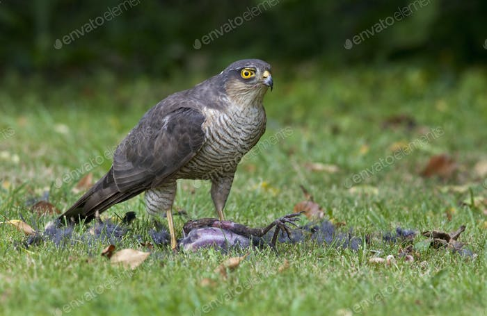 A peregrine falcon (Falco peregrinus) on it