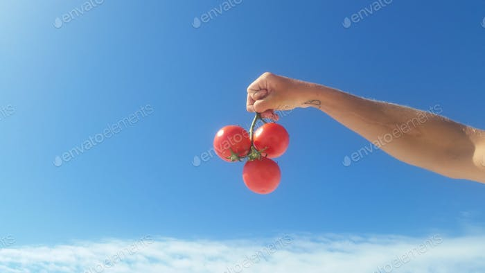 A hand holding tomatoes on the vine using the Leo technique...