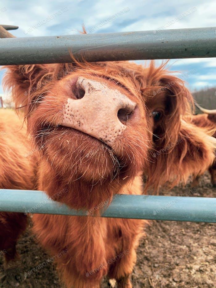 A highland cow.
