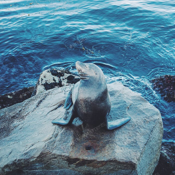 A fun seal poses on a rock in the Pacific Ocean on the coast of California.