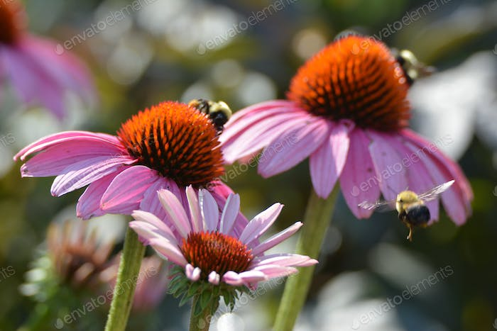 Echinacea and bumble bees