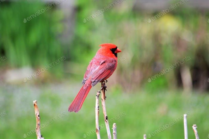 Male cardinal colorful nature