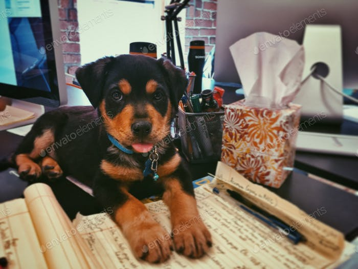 Office pup