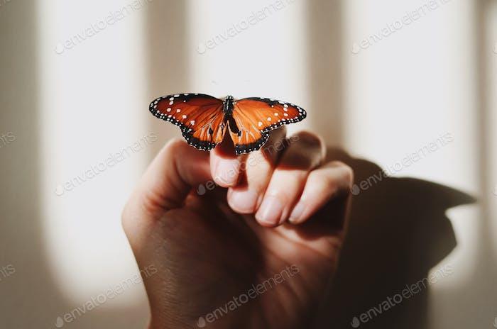 Schmetterling mit ausgebreiteten Flügeln ruht auf einer Hand und erzeugt einen Schatten an der Wand