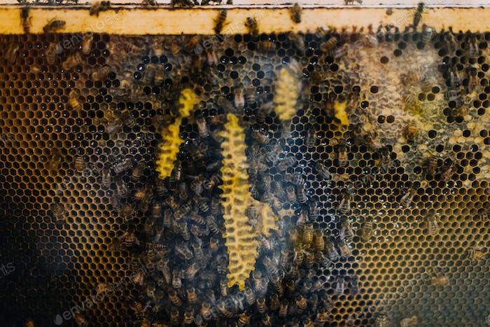 Hummeln machen Honig