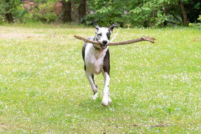 Happy large harlequin great dane dog running back with his stick