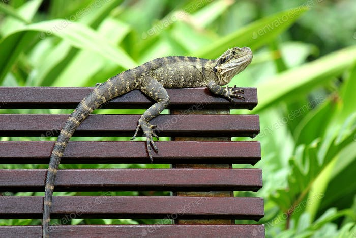 The Australian water dragon - they love to scurry around you in the park!