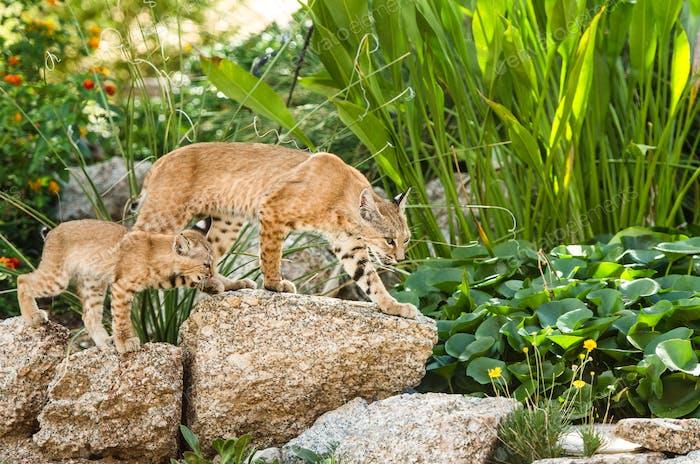 Bobcats for a walk