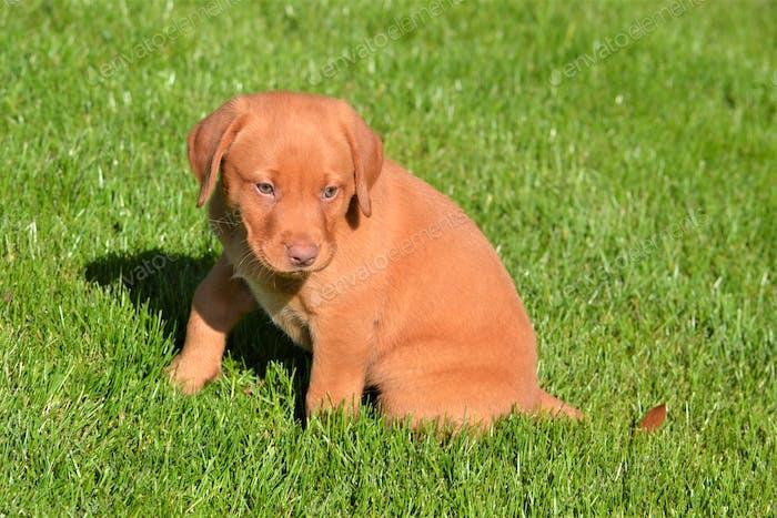 Precious red labrador retriever puppy