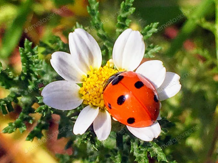 Nature lady bug