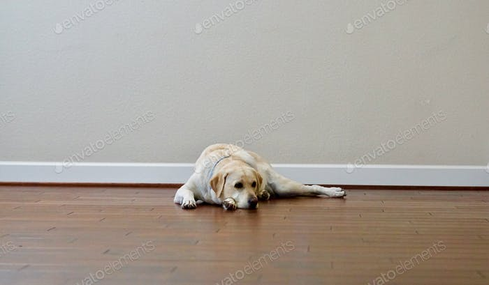 Stressed out dog laying on a wooden floor