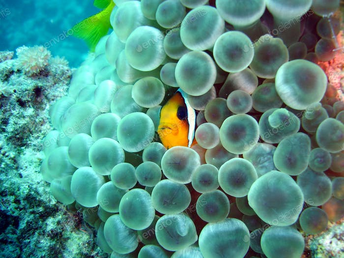 Clownfisch in Blasenanemone