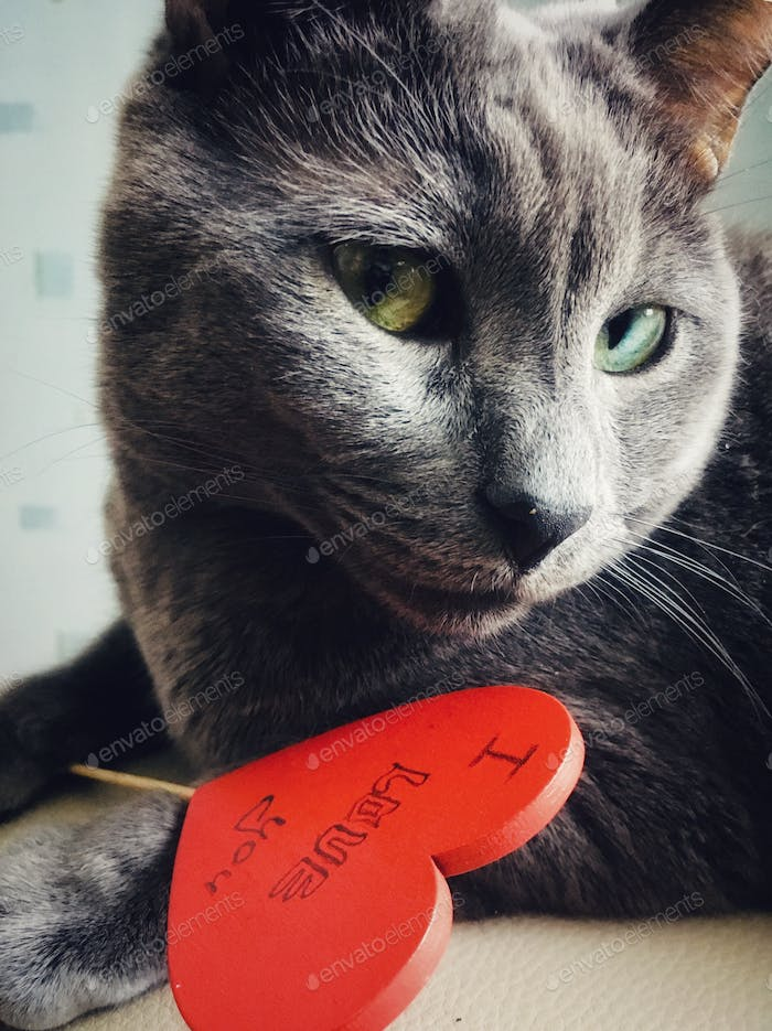 Grey cat and red heart. Portrait