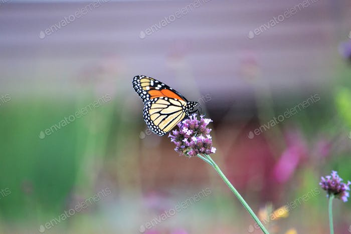 Minimalism photo of a beautiful monarch butterfly! Nominated