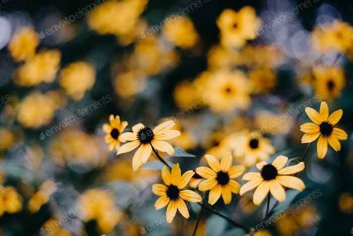 Indiana wilde Blumen. Schwarze Augen Susans