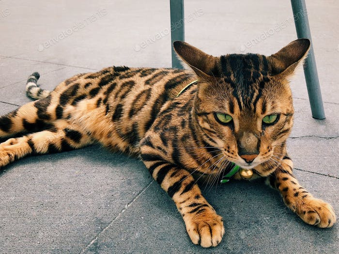 Bengal cat with beautiful green eyes taken off leash laying on a street, Tiger pattern