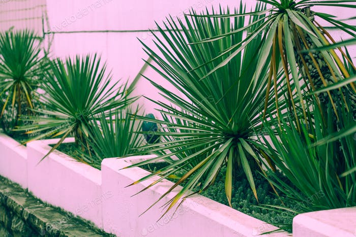 tropical pink courtyard wall with  palm trees