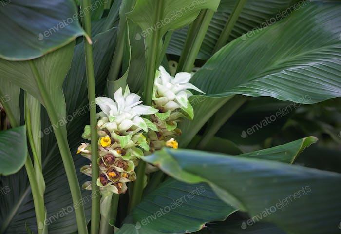 Turmeric flower / Inflorescence of turmeric (curcuma longa)