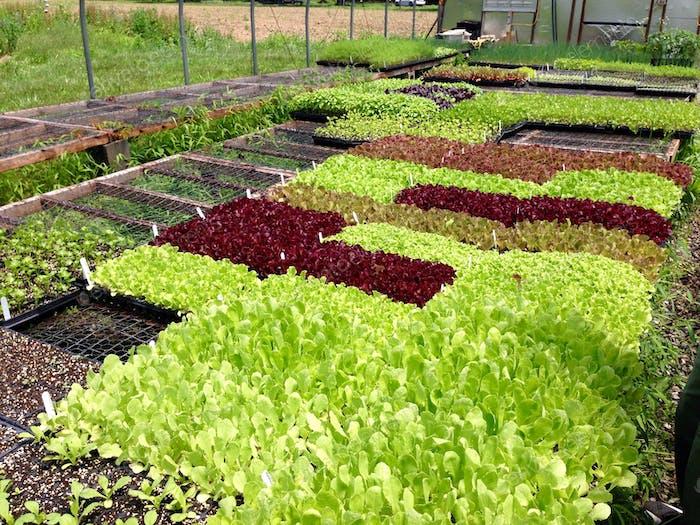 Ein Patchwork aus Bio-Salat.