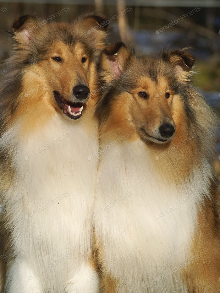 Two rough collies